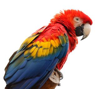 colorful scarlet macaw parrot bird
